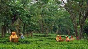 Palampur Travel Guide - Palampur Tea Gardens